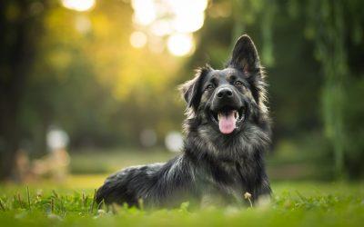 Koliko pasem psov poznamo?